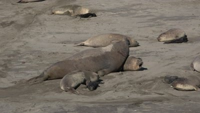 Elephant seal bull dominates female