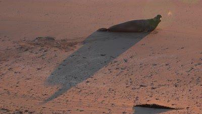 Elephant seal creates shadow at sunrise on the beach,steamy breath