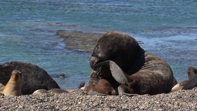 Sealion colony,bull scratching his head
