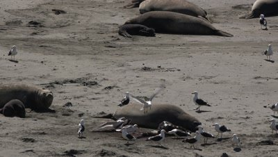 Elephant seal birth,seagulls feed on placenta
