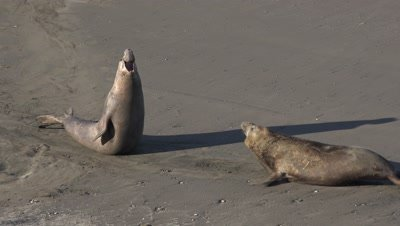 Elephant seal bulls confrontation