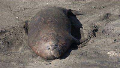 Elephant seal bull sleeping on beach