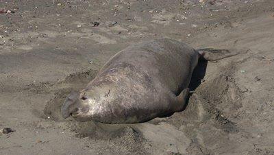 Elephant seal bull shoveling sand
