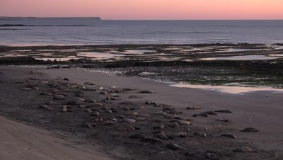 Elephant seal colony rests on beach at sunrise