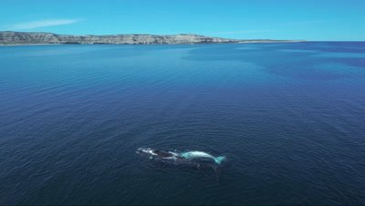 Southern right whale cow with white calf,swimming sideways,coast in the background