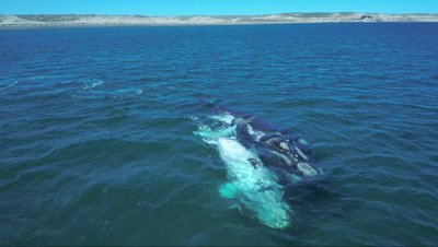 Southern right whale cow and white calf,swimming side by side