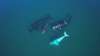 Group of southern right whales with white baby,camera moves up and whale watching boat gets into frame
