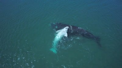 Southern right whale cow with white calf,resting on mothers body