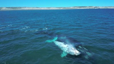 Southern right whale cow with white calf,swimming sideways then towards camera