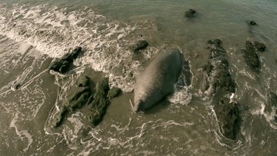 Elephant seal moving from ocean to land