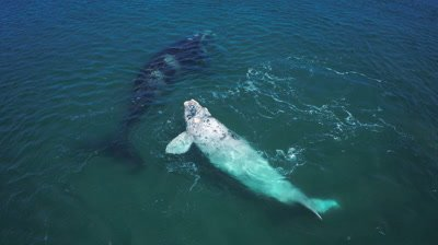 Southern right whale,2 mothers with their calf,1 white calf tossing and turning in the water,medium shot