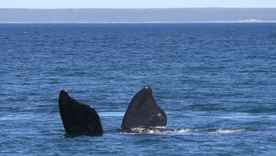 Southern right whale,showing fins,Doradillo Beach