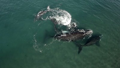 Southern right whales,2 cows with their calfs,lying on their back,showing white bellys