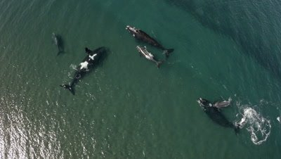 Group of southern right whales with calfs,one making big air bubble,Doradillo Beach