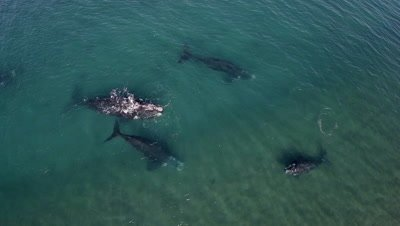 Southern right whale mothers with calfs,one is making big air bubble