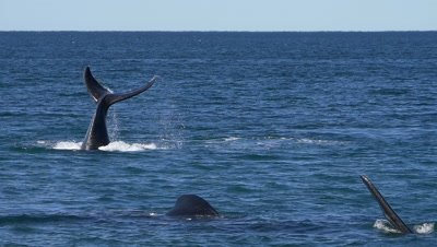 Southern right whales,showing fins and bashing water with the fluke,slow motion 96fps