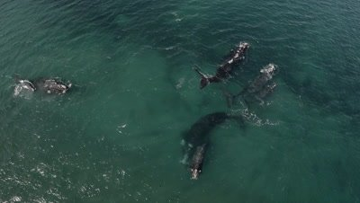 Nice group of southern right whales,cows with their calfs,in the shallow water