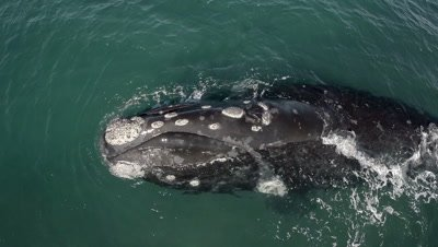 Southern right whale calf blows,close shot with rainbow