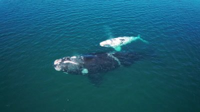 Southern right whale cow and white calf,peaceful floating in the calm bay