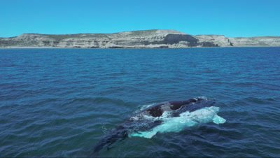 Southern right whale cow and white calf,coast in the background