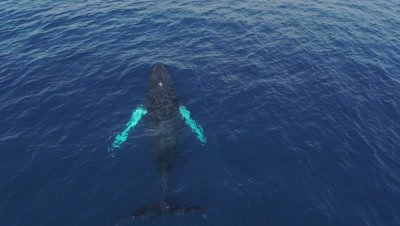 Humpback whale swimming,blowing rainbows and diving down in the calm ocean,camera close topshot