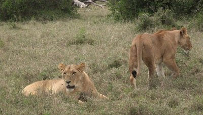 Two lions greet each other,pan