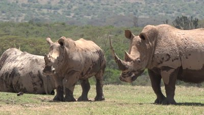 Herd of white rhinos after mud bath,very long horn