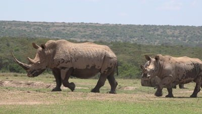 3 White rhinos,mother and juvenile,alerted,shaking themselves White rhinos,shaking themselves