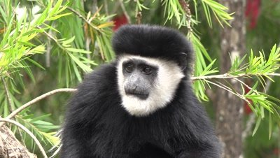 Colobus monkeys in a tree,frontal close up