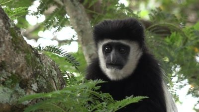 Colobus monkeys in a tree,close up