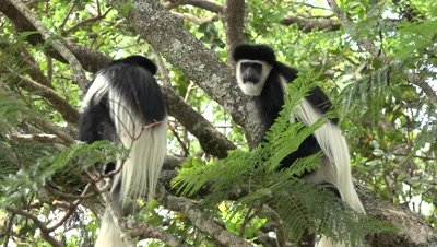 Group of Colobus monkeys climting in a tree,medium close