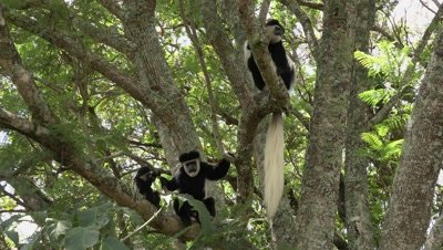 Group of Colobus monkeys in a tree,baby jumping,medium shot