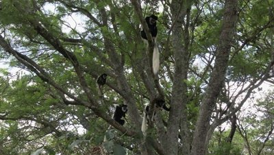 Group of Colobus monkeys climbing in a tree ,wide shot