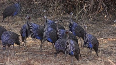 Flock of colorful blue guineafowls,picking and showing their wings
