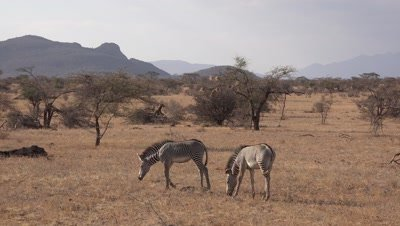 Two grevy´s zebras walking over grassland