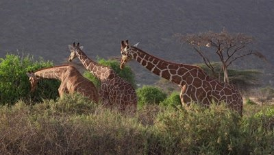 3 Giraffes eating,in late afternoon light,medium shot Giraffes eating,medium shot