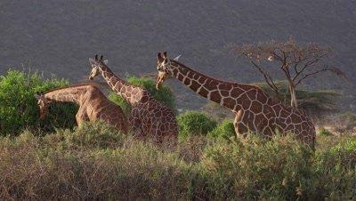3 Giraffes eating,in late afternoon light,medium shot Giraffes eating,medium shot