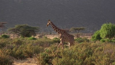 Giraffe walking in the evening light