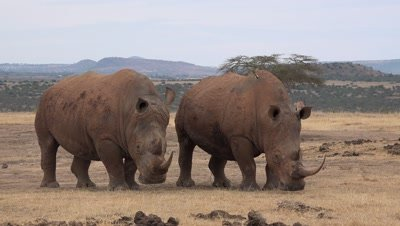 2 white rhinos standing and watching,birds flying from back to back