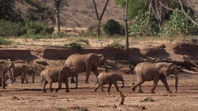 Herd of elephants walking in a riverbed