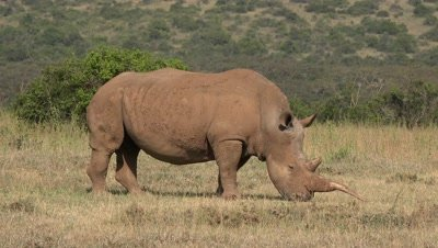 White rhino with crooked horn,eating gras