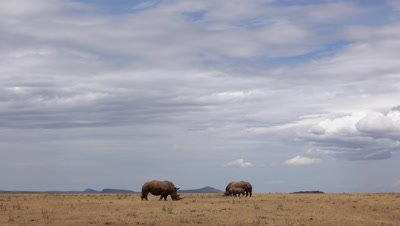Two white rhinos under big african sky,wide shot