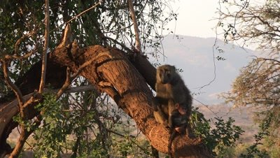Baboon mother and babies on a tree,in the early morning light