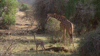 Giraffe and giraffe antelope (gerenuk) standing close to each other
