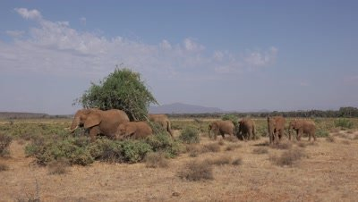 Herd of elephants walk and look for food,wide shot