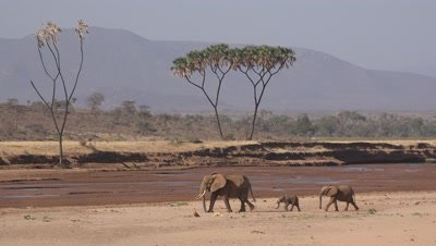 Herd of elephants walking in a riverbed,wide shot
