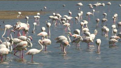 Flock of flamingos,one is dancing the moonwalk