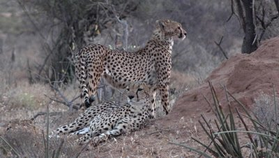 Group of cheetahs,one is standing up and watching