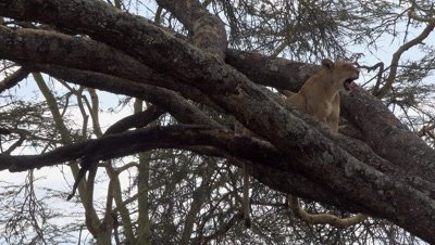 Lion on a tree,yawning.
