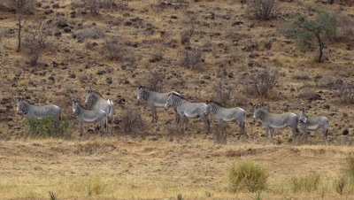 Herd of grevy´s zebras standing at the foot of a hill